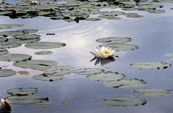 BRYAN EATON/Staff Photo. Pond lillies are in bloom throughout the area,  here on Tuxbury Pond in Amesbury near the Newton, N.H. town line.