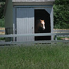 BRYAN EATON/Staff Photo. Sukey peeks out from her shed at Spencer-Peirce Little Farm in Newbury keeping out of the sun. The American Quarter Horse born in 1991 is one of several animals at the farm maintained by Historic New England.