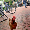 BRYAN EATON/Staff Photo. A chicken spending time at the Tannery Marketplace outside the Black Duck in Newburyport has delighted people for the past several days.