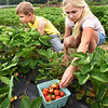 BRYAN EATON/Staff Photo. Emma Neipp, 8, right, of West Newbury and brother, Ethan, 7, pick strawberries on an outing at Cider Hill Farm in Amesbury along with brothers Bode, 2; Grayson, 3, and mother Melissa, out of view. The berry crop is a little later than usual, but one picker said some of the crop has very large fruit.