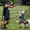 BRYAN EATON/Staff Photo. Mike Piazza of Flying High Dogs brought three of his border collies to the Newburyport YWCA Summer Program at the Bresnahan School where they entertained the children doing all kinds of acrobatics in addition to catching frisbees in mid-air. As well as catching frisbees and doing other acrobatics, Piazza gets Mojo to go in circles while standing on his hind paws.