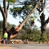 JIM VAIKNORAS/Staff photo Workers from the Newburyport DPW access damage to a tree at Maudsay State Park Tuesday morning.