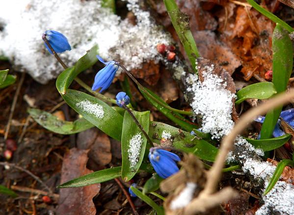 JIM VAIKNORAS/Staff photo Blue bells grow amoung the snow near the Newbury Historic Society in Newburyport on the last day of winter Sunday morning.