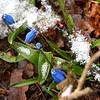 JIM VAIKNORAS/Staff photo Blue bells grow amoung the snow near the Newbury Historic Society in Newburyport on the last day of winter Sunday morning.