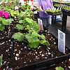 BRYAN EATON/Staff photo. Though today is the first day of spring, many people may find it hard to believe as colder than normal temperatures continue to grip the region. Spring can be found, however, in area greenhouses like this one at Pettengill Farm in Salisbury where Dori Hussey works on custom containers for special orders where it was 80 degrees on Monday.