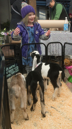 JIM VAIKNORAS/Staff photo Cecilia Shepard, 5, of Haverhill meet a trio of goat kids from Dancing Goats Dairy at the Newburyport Farmer Market at the Tannery in Newburyport Sunday morning.
