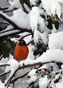 BRYAN EATON/Staff photo. An American robin perched on a rhododendron bush on Gardner Street in Salisbury might be confused with the weather expecting it to be more spring-like at this time of year. More confusion is possible for the thrush as snow is possible next Tuesday.