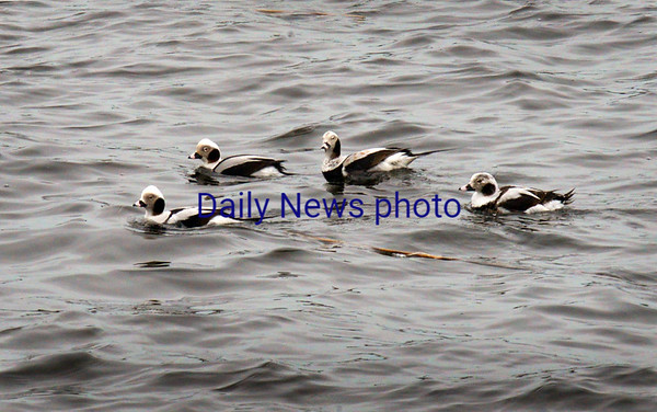 BRYAN EATON/Staff photo. Four out of a flock of about 20 Oldsquaws, or long-tailed ducks, paddle along the Merrimack River in Newburyport along the boardwalk Tuesday morning, then dived either startled by a photographer or going after food. They winter along the east coast from Newfoundland south to the Chesapeake Bay and breed in summer from Labrador to the perimeter of Hudson Bay and farther north.