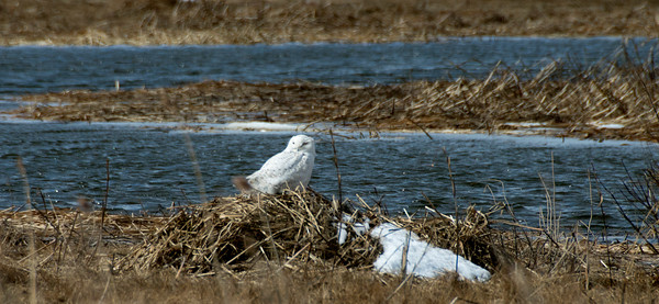 JIM VAIKNORAS/Staff photo A snowy whie owls rest on a windy Saturday afternoon on the Great Marsh along Sgt. Jordan Shay Memorial Rd in Salisbury.