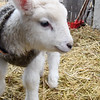 JIM VAIKNORAS/Staff photo Hugo the baby lamb is the newest addition to the Spencer-Peirce-Little Farm in Newbury.