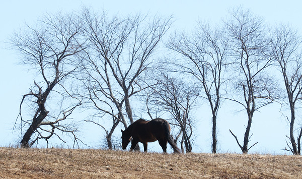 BRYAN EATON/Staff photo. A horse grazes on dried grass on Congress Street in Salisbury Plains on Tuesday afternoon. After the forecasted rain and warmer weather, its pastures will becoming greener.
