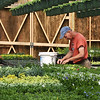 BRYAN EATON/Staff Photo. Spring started last week but the weather hasn't been exactly spring-like except in area greenhouses, thought the weather is forecast to be close to 70 degrees on Saturday. Wearing a t-shirt, John Wieck transplants flowers to be used in Mother's Day baskets at Pettengill Farm in Salisbury on Wednesday morning.