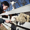 BRYAN EATON/Staff photo. Alex Wyablin, 13, of Newburyport feeds some stale bread to a sheep and some goats at Spencer-Peirce-Little Farm in Newbury, part of their Farm Friends II program which meets every Monday. Students ages 9-13 get a hands on experience to farm life by feeding, grooming the animals and mucking their stalls, along with other farm activities as the season advances. This week there was some excitement as they got to meet Hugo, a sheep just born at the farm.