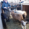 BRYAN EATON/Staff photo. Alex Wyablin, 13, of Newburyport brings hay into the sheep pen as the star of the day, Hugo, the newborn sheep, prances about.