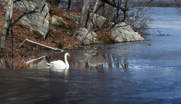 BRYAN EATON/Staff Photo. A mute swan floats in a bit of water surrounded by what's left of the ice in a finger of the Upper Artichoke Reservoir on Turkey Hill Road in West Newbury on Wednesday morning.