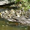 BRYAN EATON/Staff photo. A duck and her 14 offspring will be released from the Nock Middle School courtyard to a pond nearby on Friday.