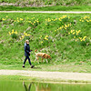 BRYAN EATON/Staff photo. Cathy Connor of Newburyport walks her daughter's dog, Tobey, by daffodils at the Duck Pond at Bartlet Mall on Monday. Possible showers this week will keep the grass there green.