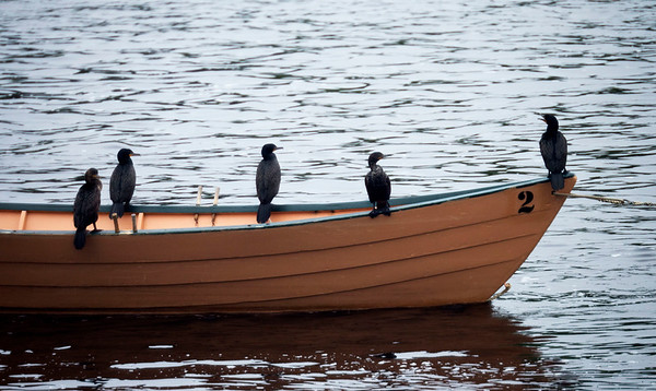 JIM VAIKNORAS/Staff photo Five cormorants rest on a dory near Lowell's Boat Shop on the Merrimack River in Amesbury on a cold rainy day Monday.