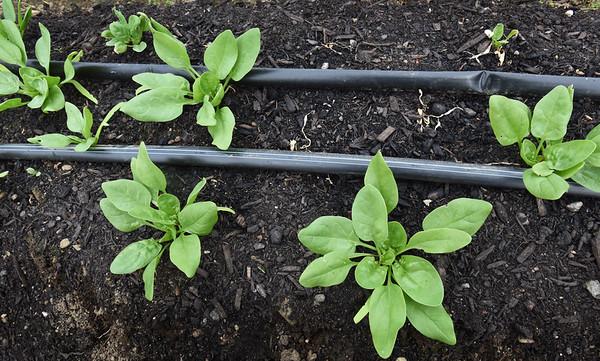 BRYAN EATON/Staff photo. Drip hoses run along a row of spinach.