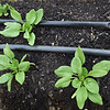 BRYAN EATON/Staff photo. Drip hoses run along a row of spinach.