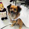 TIM JEAN/Staff photo<br /> <br /> Dressed in a wedding dress and vail is princess Sophia, a rescue dog owned by Joe Messina and Meaghan Stedge Stroud, of Newburyport, during the Fido Fair at the Salvation Army in Newburyport.   5/12/18