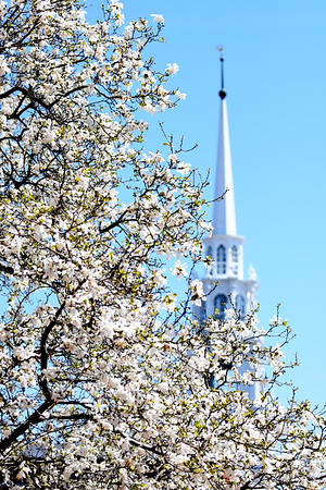JIM VAIKNORAS/Staff photo The Unitarian Church on Pleasant Street in Newburyport stands behind magnolia as they bloom in from of city hall.