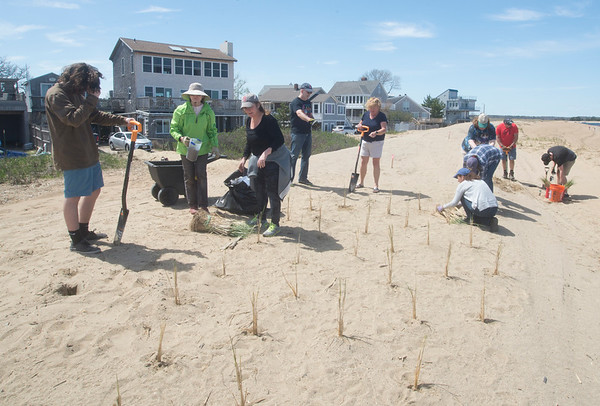 JIM VAIKNORAS/Staff photo A group of Plum Island residence plant sea grass along along Reservation Terrace in an effort to preserve the dune from erosion.