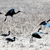 JIM VAIKNORAS/Staff photo A flock of Glossy ibis takes off from the marsh along Newman Road in Newbury Wednesday morning.