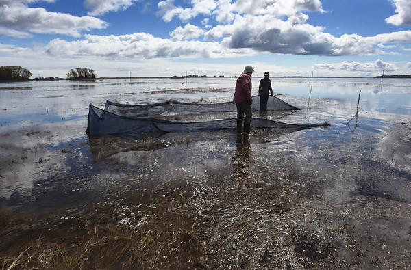 BRYAN EATON/Staff Photo. The research team have several nets, or weirs, set up to catch mummichogs and other creatures to check on their populations.