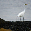 JIM VAIKNORAS/staff photo A egret stalks the water at low tide along the Salisbury side of the Merrimac River Sunday morning.