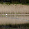 BRYAN EATON/Staff Photo. One of several egrets in the area wades between phragmites and the invasive species' reflection during high tide in the marsh near Railroad Avenue in Rowley.
