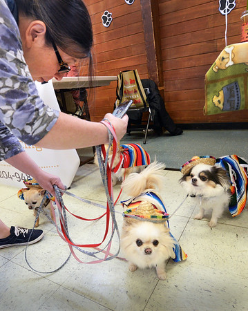BRYAN EATON/Staff photo. Debbie DeSantis of Beverly photographs her four Chihuahuas at the Fido Fair at the Salvation Army in Newburyport on Saturday. Her dogs won second place in the Cinco de Mayo category.