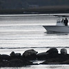 JIM VAIKNORAS/Staff photo A fishing boat glides by a harem of seals off Salisbury near the mouth of the Merrimac River at dawn Sunday.
