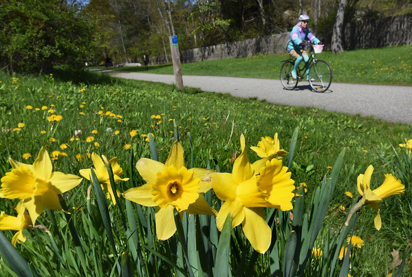 BRYAN EATON/Staff Photo. Severals stands of daffodils along with dandelions greet users of the Clipper City Rail Trail in Newburyport just south of High Street. The amount of rain that has fallen recently has been good for the many flowers in bloom and more rain is on the way for tonight, and late Sunday into Monday.