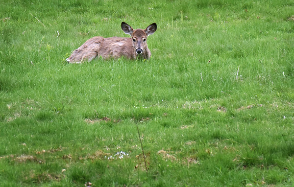 BRYAN EATON/Staff Photo. This deer keeps a watchful eye on humans on Hoyt's Lane at Maudslay State Park while another grazes nearby. Though deer are active day and night, the shy creatures aren't usually seen in such an open area.