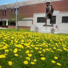 BRYAN EATON/Staff photo. The Doughboy Statue in front of Amesbury Middle School is surrounded by the often maligned dandelion.