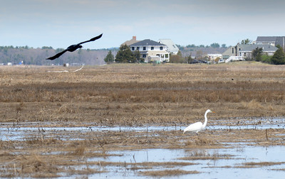 BRYAN EATON/Staff photo. A great egret wades along the marsh along the Plum Island Turnike as another bird flies by perhaps thinking it's found some dining possibilities.