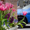 BRYAN EATON/Staff photo. Tulips dominate this window box outside Starbucks in Newburyport.