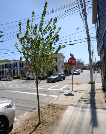 BRYAN EATON/Staff photo. A cherry tree has been planted on Liberty Street and another around the corner on Fair Street.