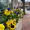 BRYAN EATON/Staff photo. Pansies in window boxes outside the Provident Bank in Amesbury's Market Square.