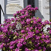 BRYAN EATON/Staff photo. A PJM rhododendron in front of the First Parish Church in Newbury.
