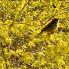 BRYAN EATON/Staff photo. Forsythias are starting to loose there flowers, but this bird is surrounded by yellow at Atkinson Common in Newburyport.