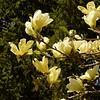 BRYAN EATON/Staff photo. Magnolia Yellow Bird in Newburyport's Atkinson Common.