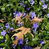 BRYAN EATON/Staff photo. Fall's oak leaves lay on a bed of vinca or running myrtle at Newburyport's Atkinson Common.