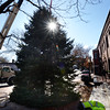 BRYAN EATON/Staff photo. Amesbury's Christmas tree was lowered into place on early Monday afternoon in Market Square. The tree will be lit at the end of the Holiday Day Parade which starts on December 2, at 3:30 p.m.