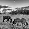 JIM VAIKNORAS/Staff photo Tow horses graze as the Waxing Gibbous moon rises over a field along route 1a in Rowley.