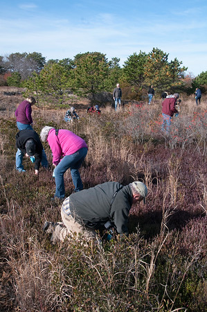 JIM VAIKNORAS/Staff photo People comb for cranberries she picked during a tour of a cranberry bog at the Parker River Wildlife Refuge.