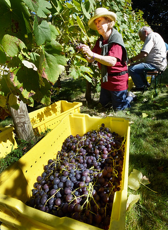 "BRYAN EATON/Staff photo. Jewell Towne Vineyard owners Brenda, pictured, and Peter Oldak along with a couple friends, continued to pick their grapes Monday and Tuesday after a small army of friends and employees harvested the bulk of the crop over the weekend. The South Hampton winery, which is over the Amesbury town line, opened in 1994 after they started planting a vineyard in 1982. This year they won a ""double gold"" award for their 2016 vintage of their Vignoles at the fair The Big E, which also bestowed on them Best New Hampshire Wine."