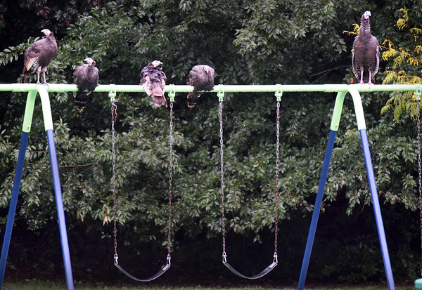 BRYAN EATON/Staff photo. Though recess was held indoors on Tuesday at the Bresnahan School in Newburyport, the playground still got some use as these turkeys used the swing set to roost for awhile.