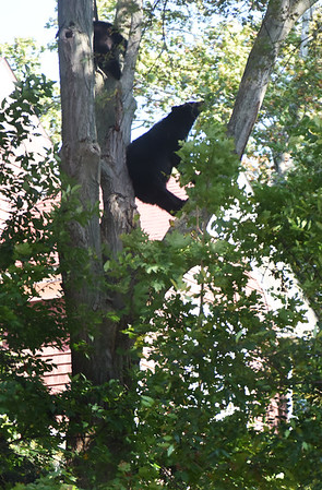 BRYAN EATON/Staff photo. The bears climbed another tree where they were tranquilized and fell into a blanket held by wildlife and emergency crews.